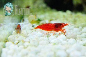 Aquarium mit Red Fire Garnelen