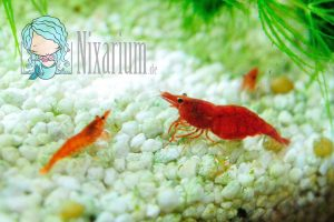 Ausgewachsene Red Fire Garnele