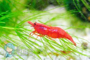 Große Red Fire Garnele mit Rückenstrich