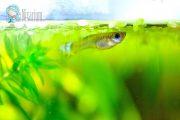 Nixarium - Herzlich Willkommen - Guppy Weibchen im Aquarium