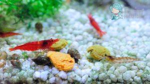 Red Fire Garnelen - Männchen und Weibchen
