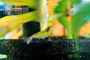 Gelbbraune Garnelen im Aquarium - Kreuzung Red Fire Blue Pearl
