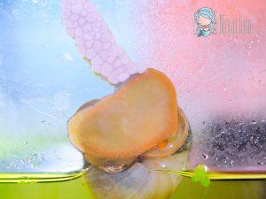 Gelege der Apfelschnecke im Aquarium