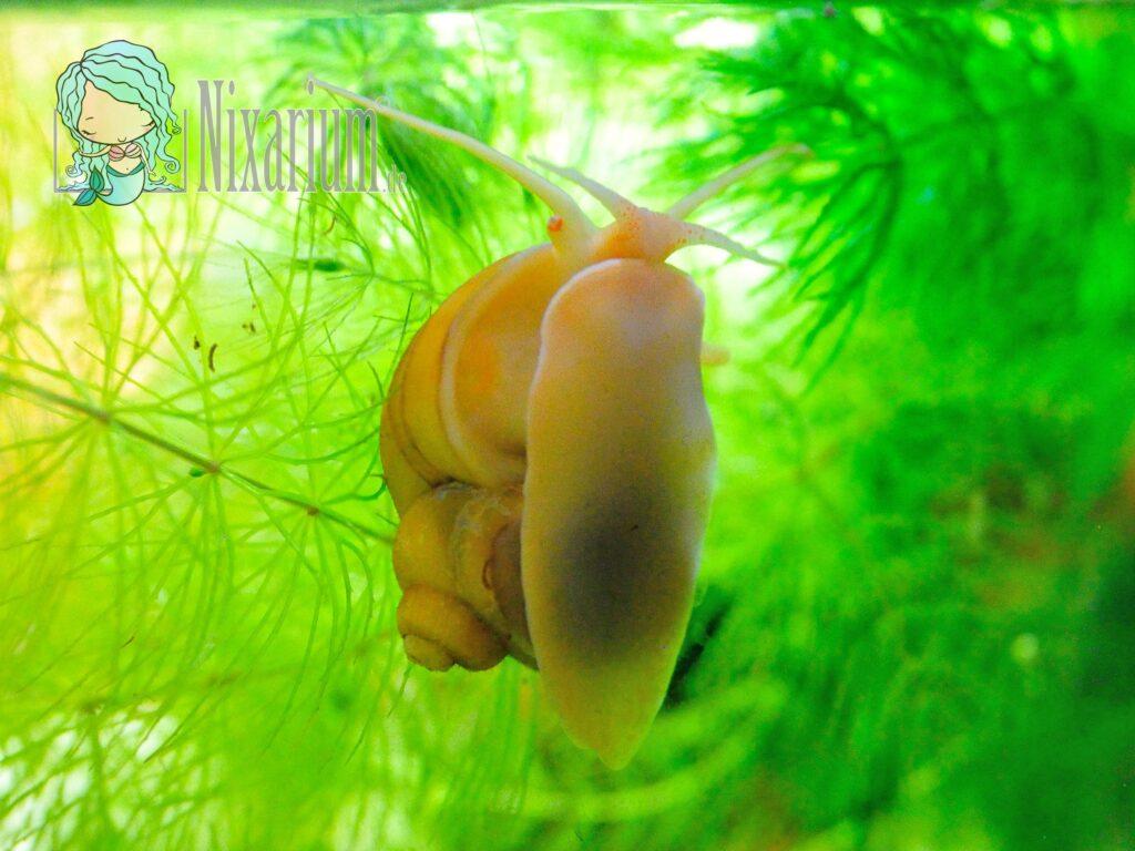 Goldapfelschnecke im Hornkraut - Pomacea diffusa