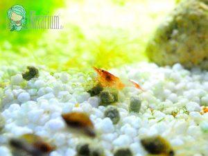 Neue Red Rili Garnelen für das Aquarium