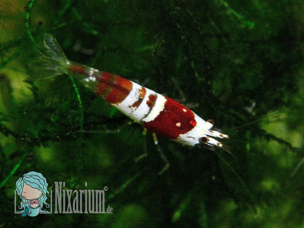 Red Bee - Grade B - Garnele