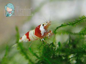 Rot Weiße Bienengarnele
