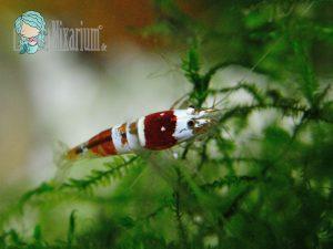 Rote Bienen Garnele - Grade B